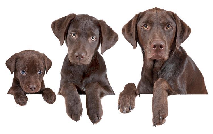 un mismo perro con distintos tamaños y edades