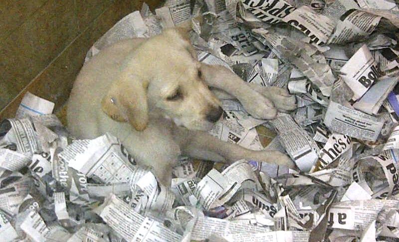 Una cachorra de labrador amarillo entre papel de periódico en un escaparate