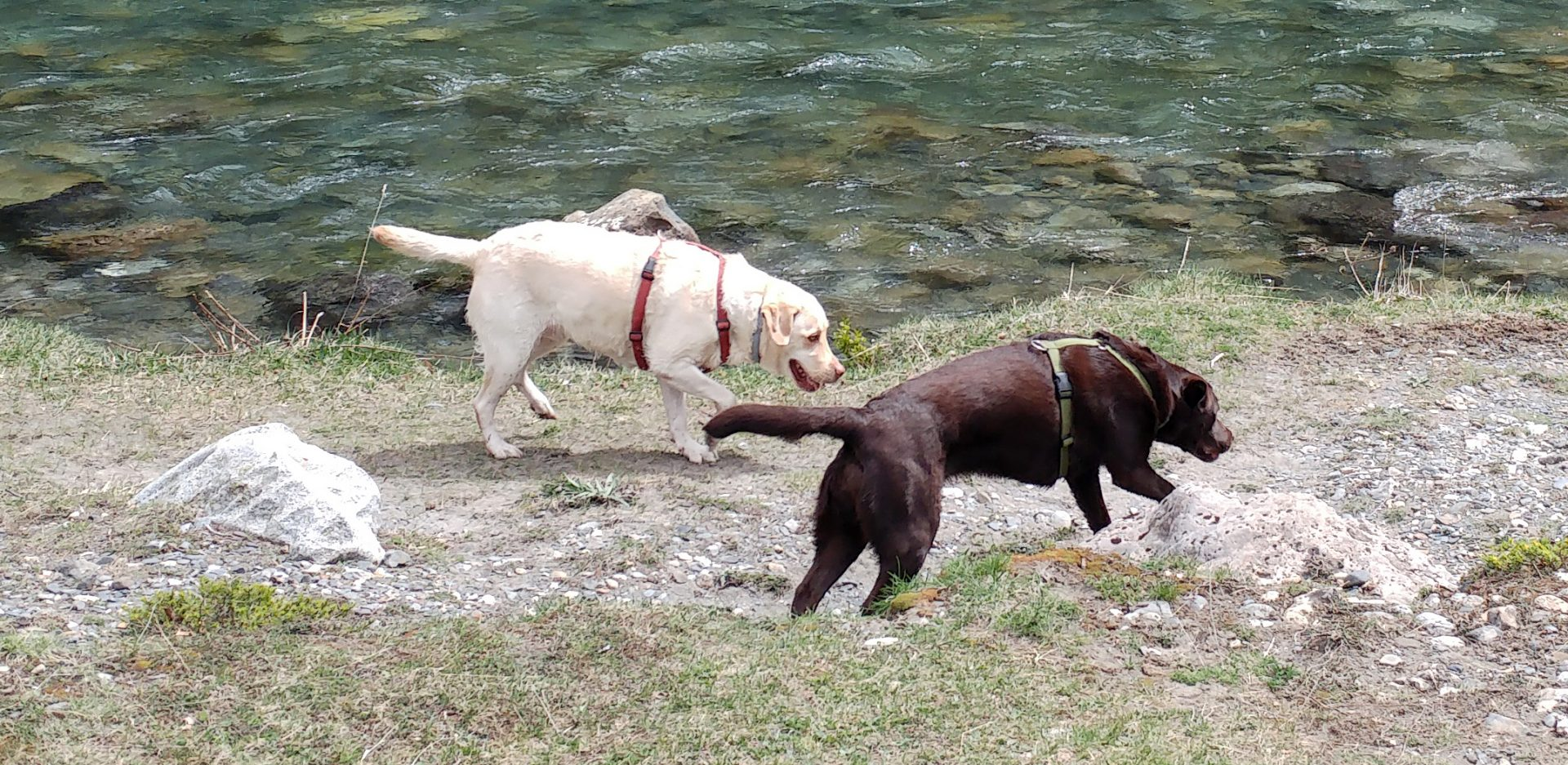 Rumba y Salsa, dos labradores, paseando por un río