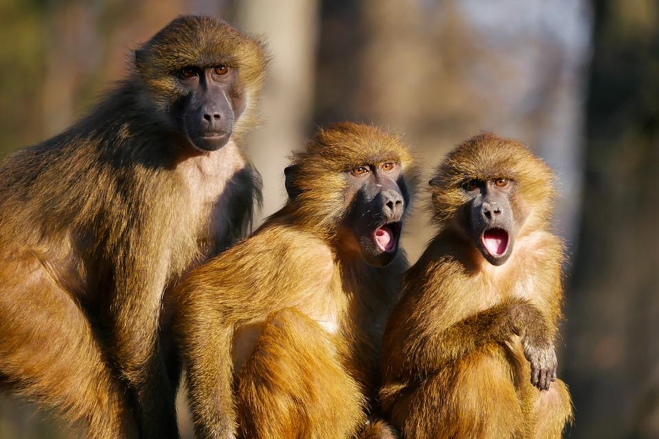 tres monos chillando