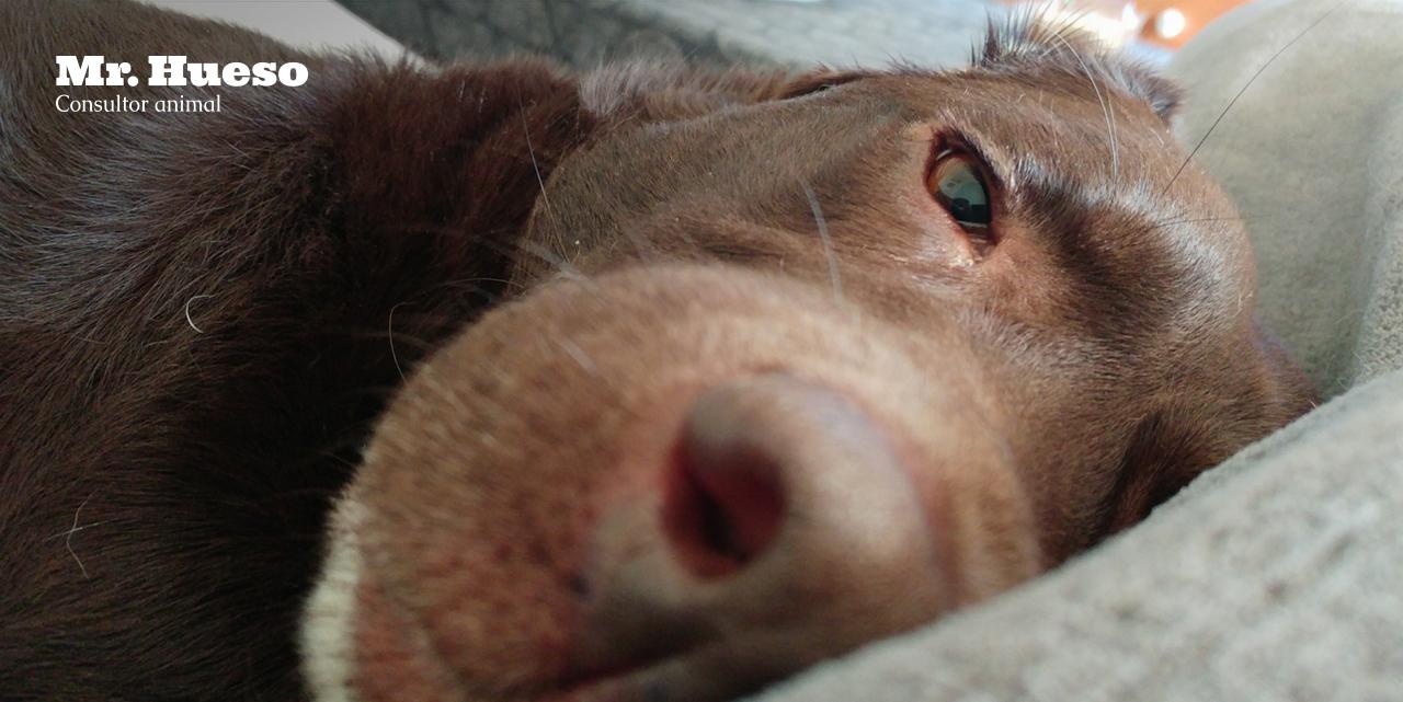Salsa, un labrador tumbado calmado