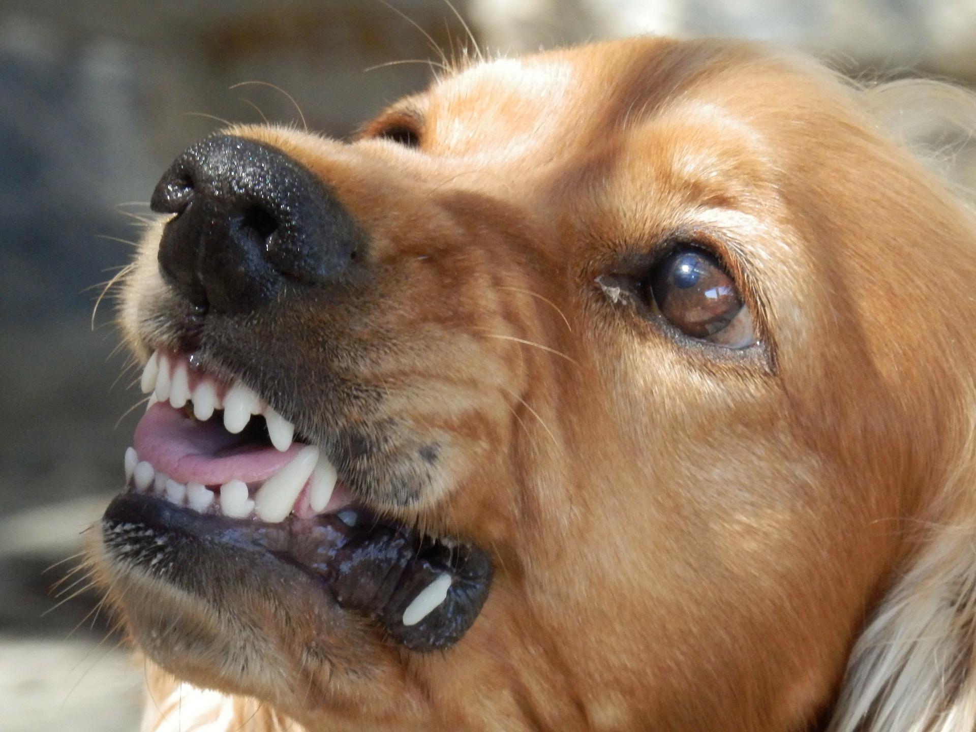 Un perro enseñando los dientes