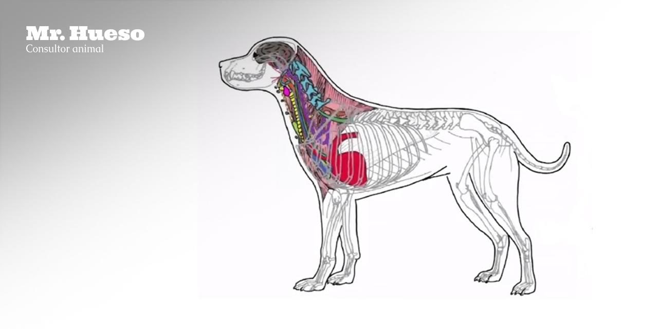 Todos los sistemas y órganos bajo el cuello de los perros