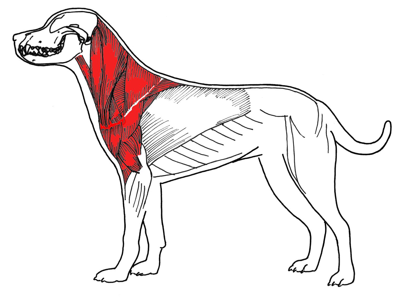 músculos bajo el cuello
