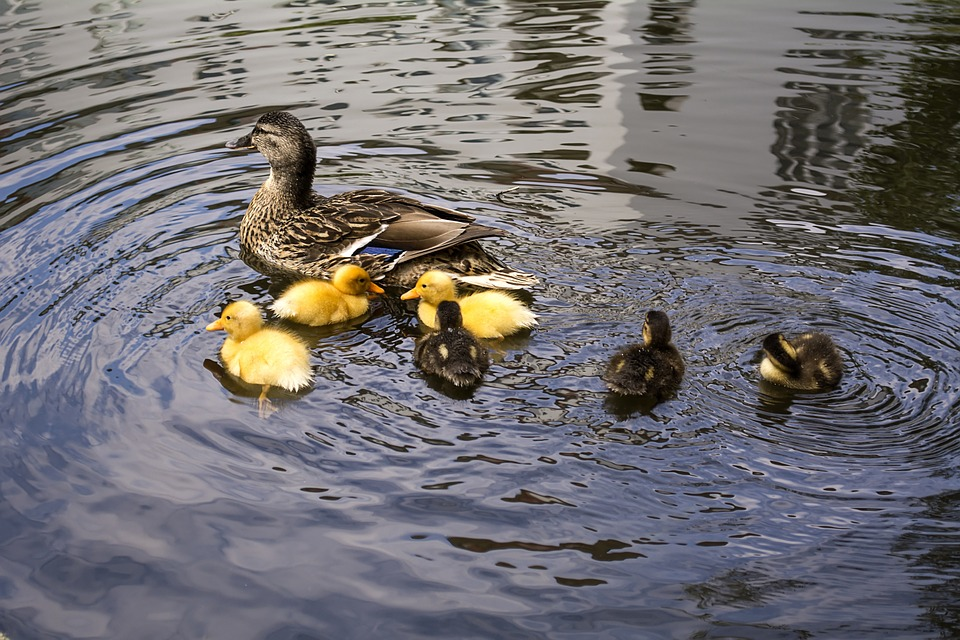 familia de patos en un estanque