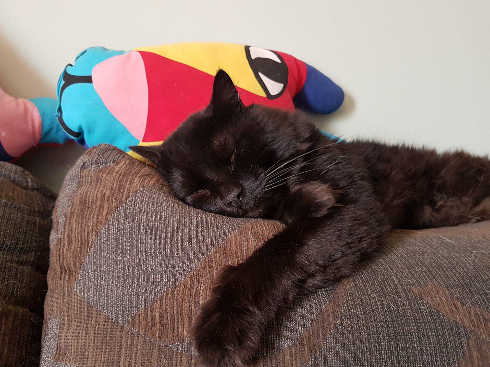 Canuto durmiendo en lo alto del sofá
