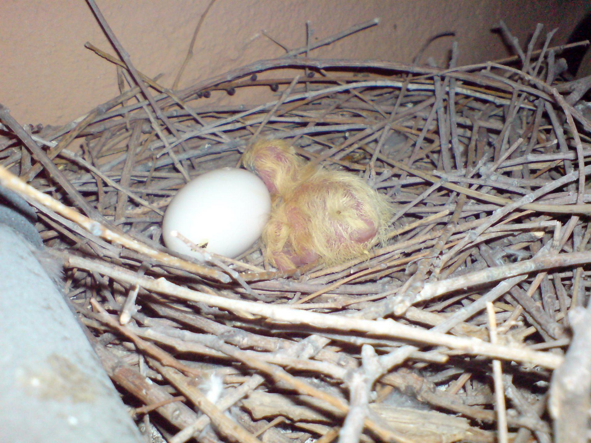 nido de palomas que criaron en nuestra casa, aparece un polluelo y un huevo todavía por abrir