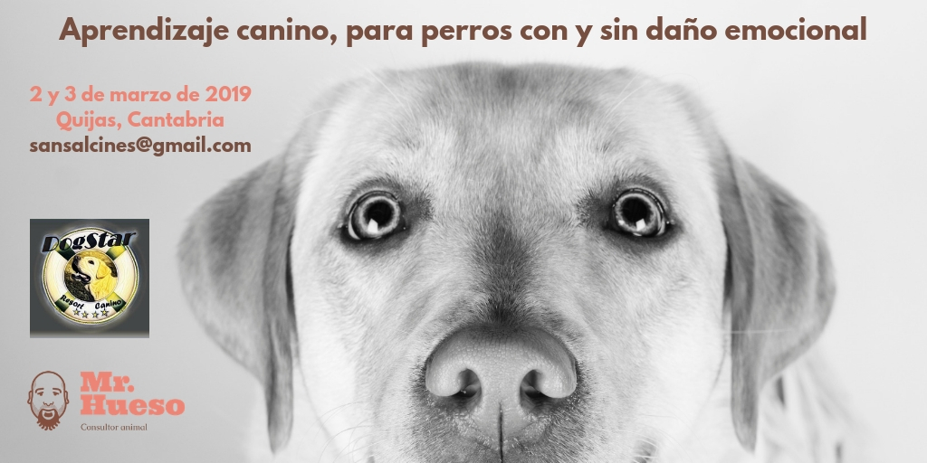 Aparece Rumba, labradora de Mr. Hueso. Aprendizaje canino, para perros con y sin daño emocional.