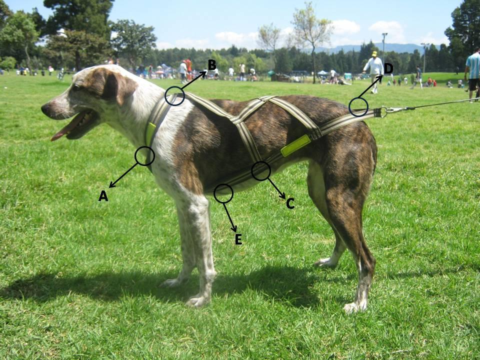 aparece un perro con un arnés de canicross, con las instrucciones para tomar las medias al perro y fabricarlo a medida