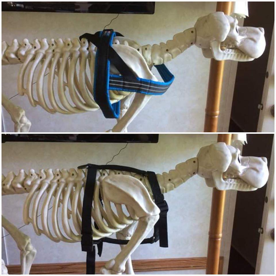 se muestra un esqueleto de perro con un arnés restrictivo y uno en H, el segundo deja libre los omoplatos